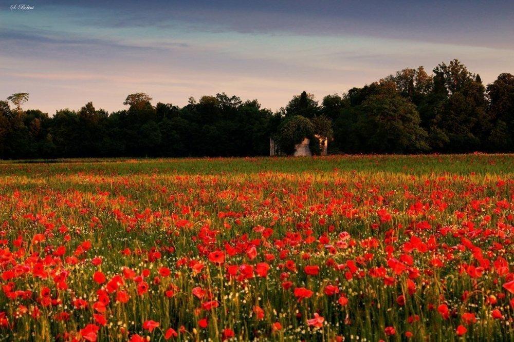 Campo di papaveri nella campagna trevigiana