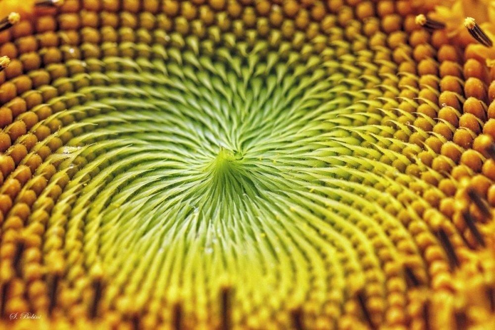 L'interno di un girasole